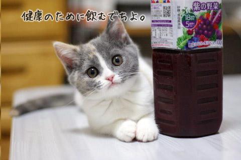 ブリティッシュショートヘア ダイリュートキャリコ 子猫